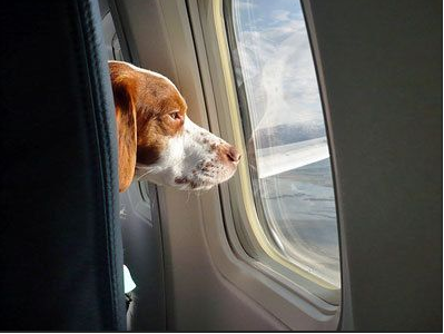 Airline pet travel air hollywood offering in cabin flight for Air travel with dog in cabin