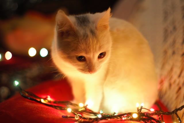 Cat looking at Christmas Lights - Keep Your Pets Safe at Christmas