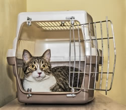 cat traveling in crate