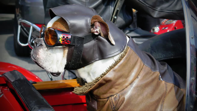 dog with doggles for safety