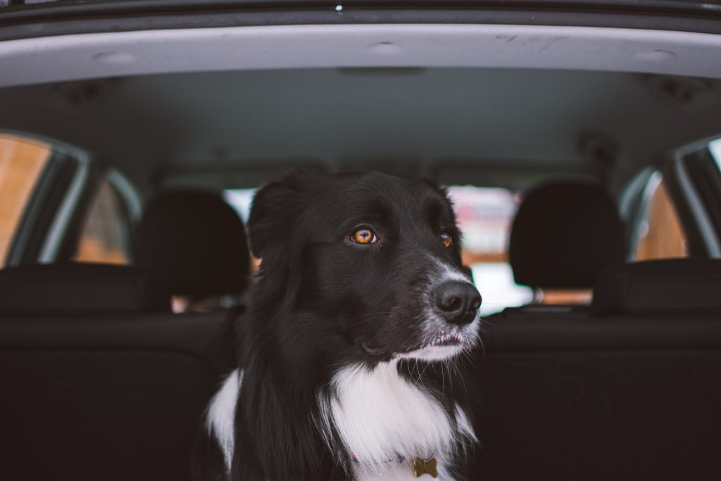 Dog in car on family travels