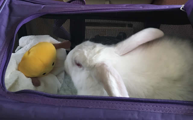 Rabbit in Carrier