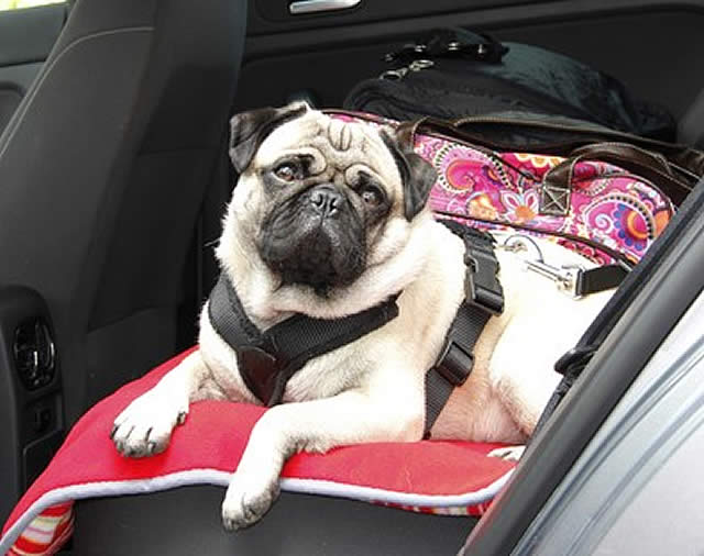 Pug in back seat using pet seat belts