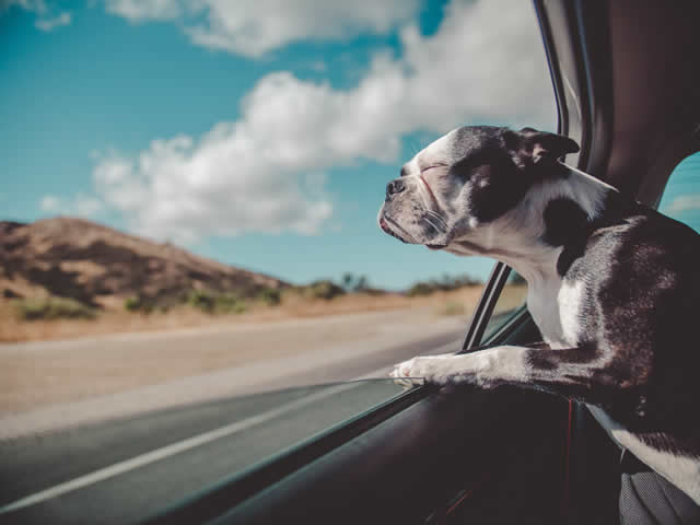An unrestrained dog in car is a serious mistake when traveling with a pet