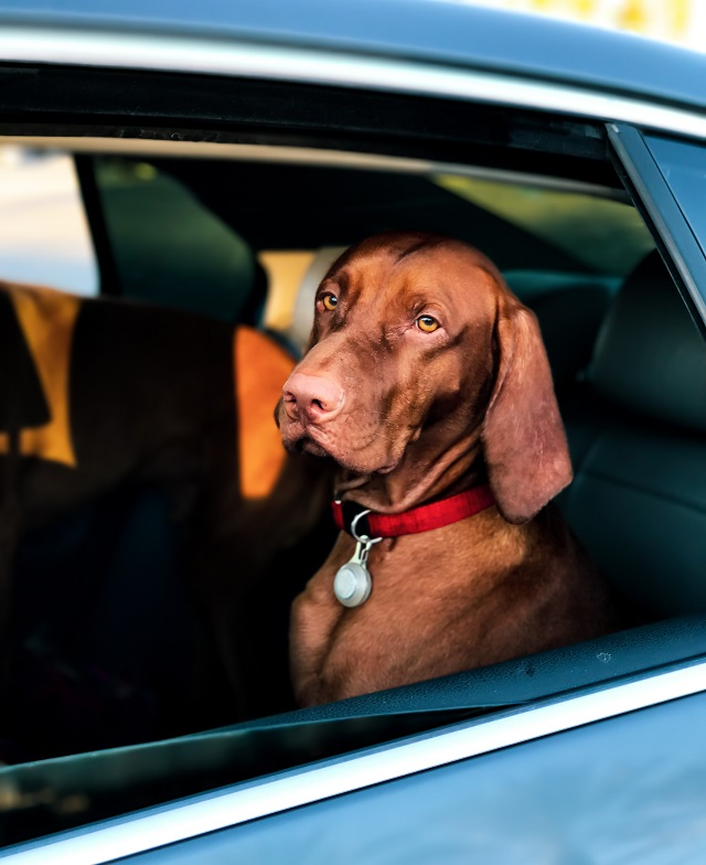 dog travel by car