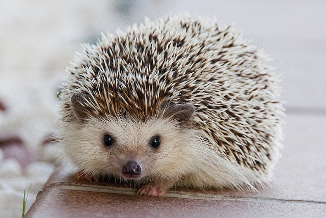 traveling with a domesticated wild animal - hedgehog