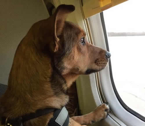 emotional support animal on airplane